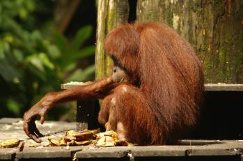 Les derniers orang-outans.